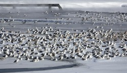 Seagulls warm themselves in dirty water near the sewer in winter
