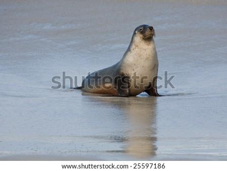 Seal at Seal Bay Kangaroo Island South Australia