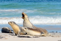 Seal Bay, Kangaroo Island, South Australia, Australia.