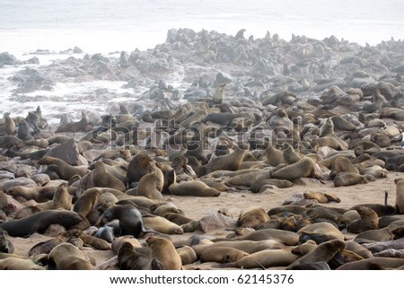 Seal fur colony in Cape Cross, Namibia.