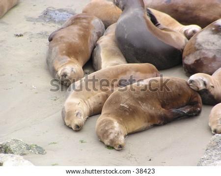 Seal Lions Sleeping close up #38423