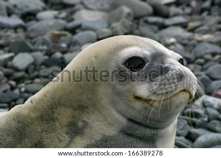 Seal. Livingston island. Antarctica.