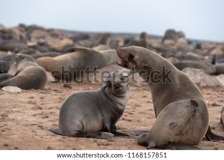 Seal mother with open mouth and baby seal