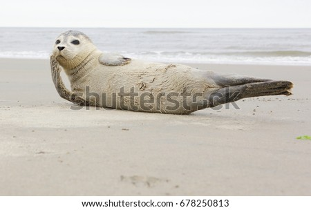 seal on beach, north sea #678250813