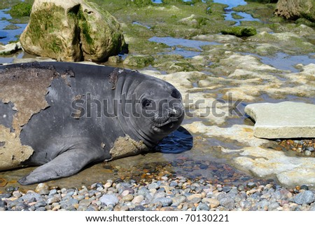 Seal on the Atlantic coast of Argentine Patagonia