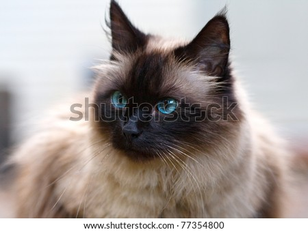 Seal point cat portrait #77354800