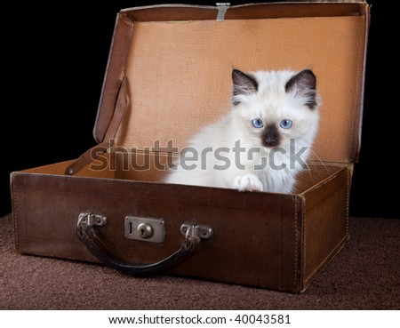 Seal point mitted ragdoll kitten and an antique leather suitcase