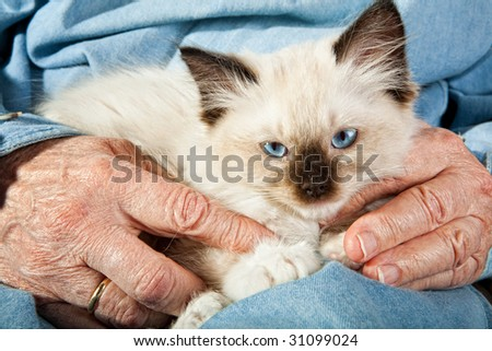 Seal point mitted ragdoll kitten held by the hands of an old woman