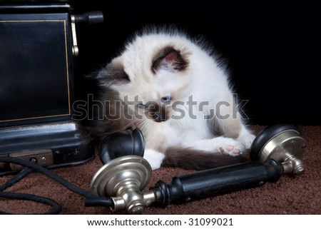 Seal point mitted ragdoll kitten investigating an antique telephone