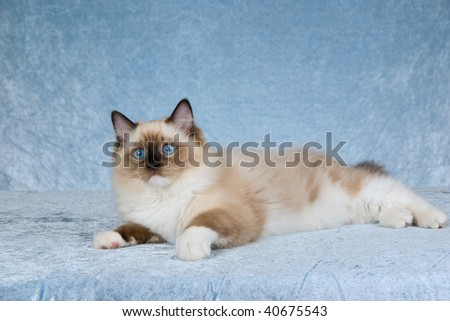 Seal point mitted Ragdoll kitten on silver blue background fabric