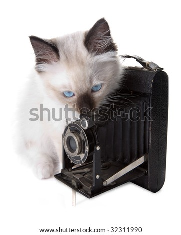 Seal point mitted ragdoll kitten with antique photo camera