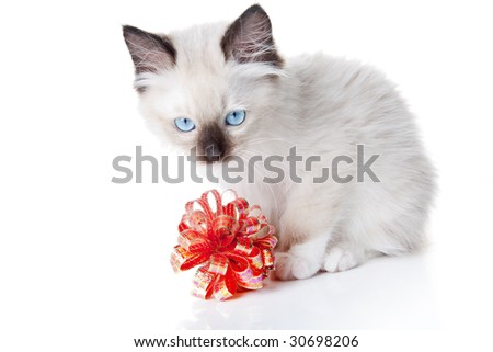 Seal point mitted ragdoll kitten with gift ribbon