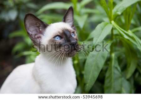 Seal point siamese cat in the garden