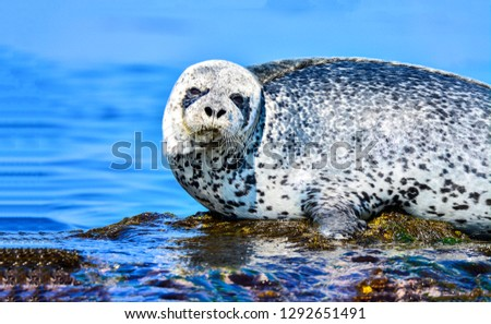Seal portrait. Phoca largha. Seal in water. Seal largha