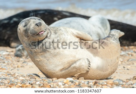 seal pup with a happy expression basking on a stony beach #1183347607