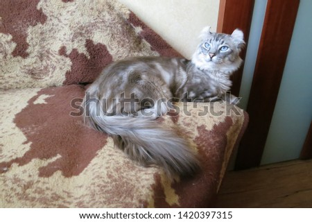 Seal silver tabby point American curl on a sofa #1420397315