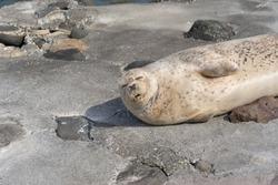 Seal sleep on the concrete floor at Otaru Aquarium.