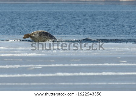 Seal (spotted seal, largha seal, Phoca largha) diving from the edge of sea ice floe in winter sunny day. Wild spotted seal in natural habitat.