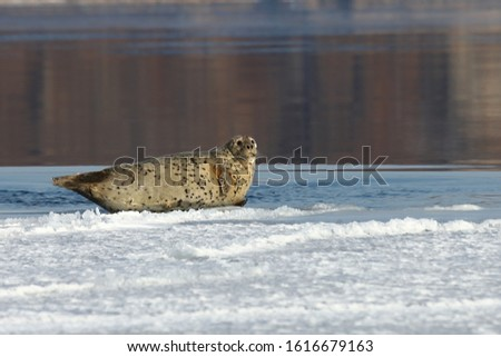 Seal (spotted seal, largha seal, Phoca largha) laying on ice on calm reflecting sea water background in sunny day. Portrait of cute sea mammal. Wild spotted seal closeup.