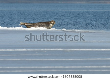 Seal (spotted seal, largha seal, Phoca largha) laying on sea ice floe in winter sunny day. Wild spotted seal in nature.