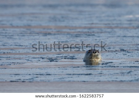 Seal (spotted seal, largha seal, Phoca largha) swimming in sea water in sunny day. Portrait of cute sea mammal. Wild spotted seal closeup.