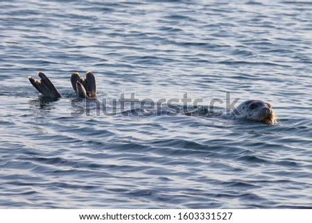 Seal (spotted seal, largha seal, Phoca largha) swimming in sea water in sunny day with flippers over the surface. Wild spotted seal closeup.