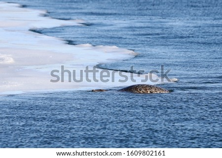 Seal (spotted seal, largha seal, Phoca largha) swimming in sea water in wintersunny day near the edge of ice floe. Portrait of cute sea mammal. Wild spotted seal closeup.