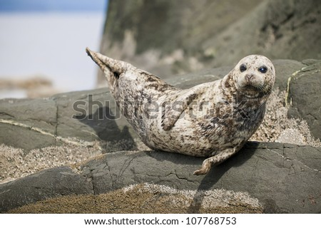 Seal suntanning on rocky island