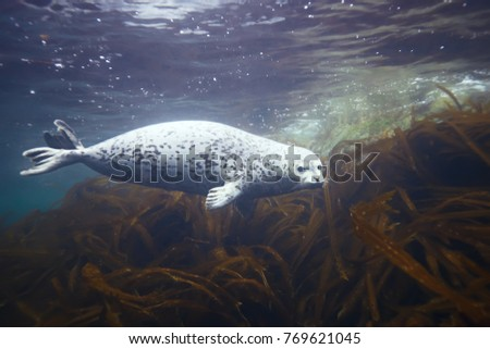 seal underwater photo in wild nature