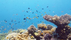 Sealife, Diving near a coral reef. Beautiful colorful tropical fish on the lively coral reefs underwater. Leyte, Philippines.