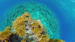 Sealife, Diving near a coral reef. Beautiful colorful tropical fish on the lively coral reefs underwater. Panglao, Bohol, Philippines.