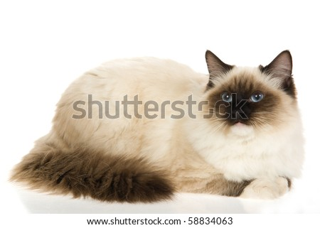 Sealpoint mitted Ragdoll cat on white background