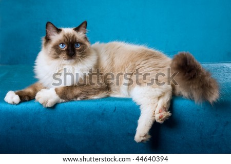 Sealpoint Ragdoll on blue background fabric