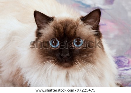 Sealpoint Ragdoll on pink lilac floral background - stock photo