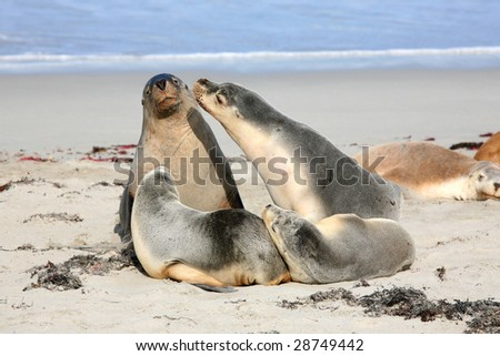 Seals at Seal Bay Kangaroo Island South Australia