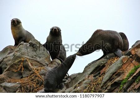 Seals in Dunedin, South Island of New Zealand #1180797907