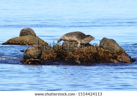 Seals (largha seal, Phoca largha) laying on rocky island in sea. Spotted seal sanctuary. Calm blue sea, wild marine mammals in natural habitat.