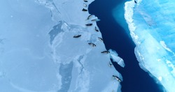 seals on the ice floe in aerial view