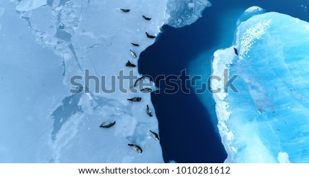 seals on the ice floe in aerial view #1010281612