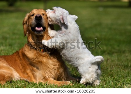 Sealyham Terrier and golden retriever