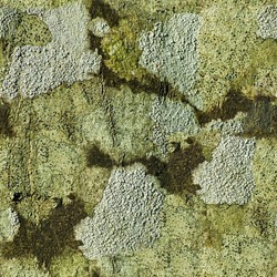 Seamless abstract background. Grey tree lichens on a hornbeam tree bark. The pattern formed by the contours of gray lichen on tree bark. Lichen on hornbeam tree bark texture closeup natural background