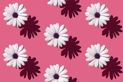 Seamless pattern of a beautiful white flower Asteraceae or Aster on deep pink background. Minimal flowers concept in hard light with shadows. Abstract backdrop. Top view, flat lay.
