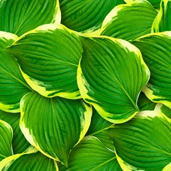 Seamless pattern of hosta leaves. Chaotic arrangement of leaves. Bright juicy greens. Surface covered with leaves.