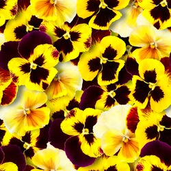 Seamless pattern of yellow pansy flowers. Bright colorful summer background. Chaotic arrangement of buds.