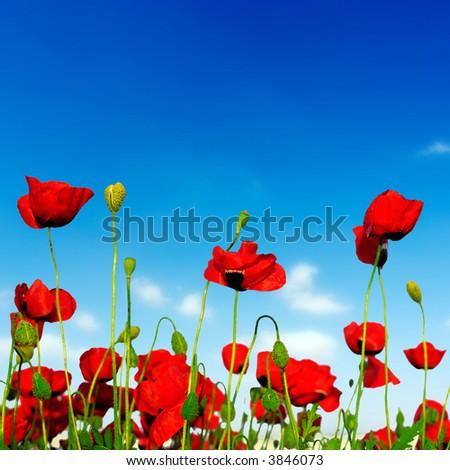 seamless poppies