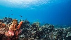 Seascape in turquoise water of coral reef in Caribbean Sea, Curacao with fish, coral and sponge