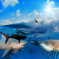 seascape split in  two parts First One with two bull-sharks in front of each other surrounded by small fish underwater Second one with sunlight cloudy sky splashed wave with seagull