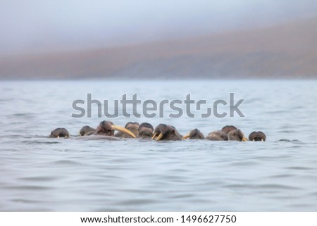 Seascape with a herd of walruses (Odobenus rosmarus). Foggy weather. There are many walruses in the water with large tusks. Wildlife of the Arctic. Nature and animals of Chukotka. Far East of Russia.