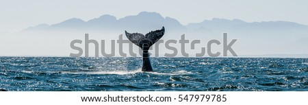 Seascape with Whale tail. The humpback whale (Megaptera novaeangliae) tail  dripping with water in False Bay off the Southern Africa Coast.          #547979785