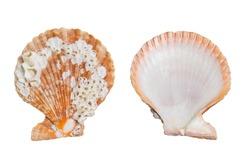 Seashell back front isolated on white background